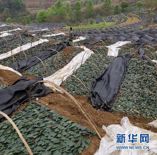 三合村村民在查看茶苗。新华社记者 王新明 摄