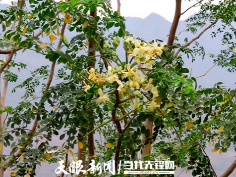 长流辣木树