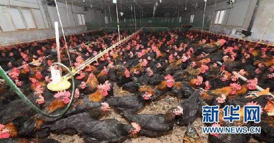 家禽产业。新华网发