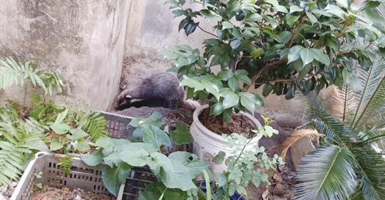 一头野生獾猪 闯入居民家中