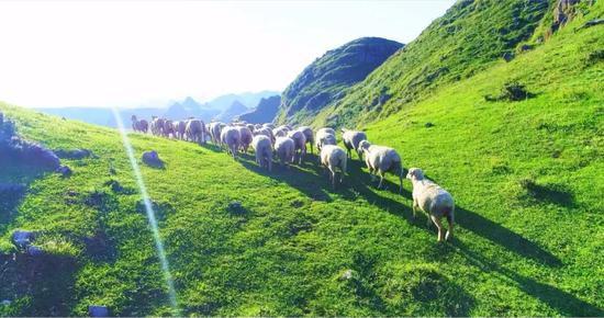 《阿西里西大草原绵羊》