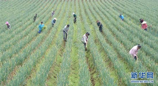 3月23日,黔西县锦星镇庆民村村民在大葱种植基地劳作。新华社记者 杨楹 摄