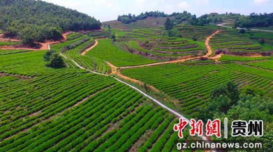 贵州金沙:发展茶产业改善生态助增收