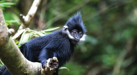 小黑葉猴。