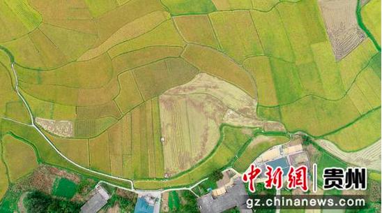贵州绥阳迎来水稻收获季