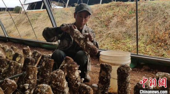 六盘水发展食用菌为特色产业之一 石小杰 摄
