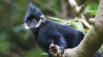 探秘黑葉猴棲息地