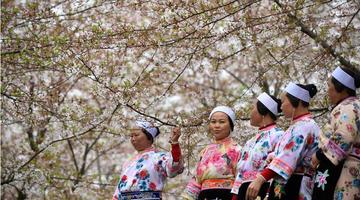 贵州:樱花如雪春正好