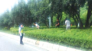 西二环上杨梅熟 市民横穿马路冒险采摘