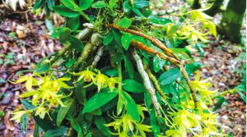贵州发布石斛产业地方标准