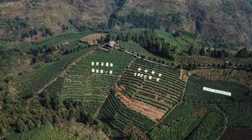 """贵州迎来2021年绿茶""""第一采"""""""