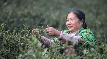 贵州2020年茶叶总产值超500亿元