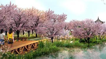 近期雨水多 市民可在线赏贵安樱花