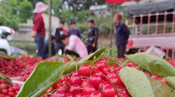贵州织金:万亩樱桃红 民众收入增