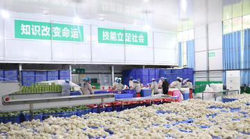 思南做强红薯产业助力乡村振兴