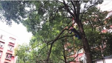 物业工作人员正在砍伐树枝。