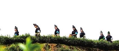 3月17日,贵州省榕江县两汪乡汪脑白茶基地,苗族群众正在采摘春茶。 王炳真 本报记者赵惠 摄