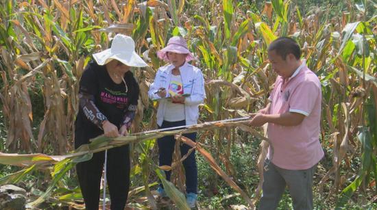 修文县开展粮食高产示范项目玉米测产验收工作