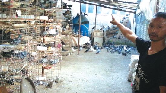 鸽场里肉鸽卖不出去。