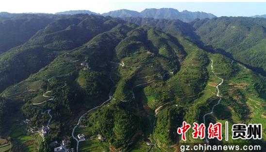 贵州金沙:葡萄成熟季 采摘正当时