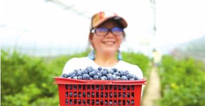 6月10日,在贵州省丹寨县扬武镇老八村蓝莓园,一名游客在展示采摘的蓝莓。 黄晓海 摄