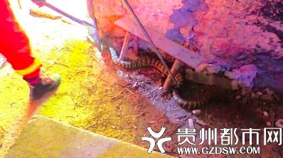 大蛇为偷吃鸡蛋溜进居民家中