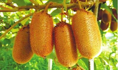 正宗的修文猕猴桃还未完全成熟。