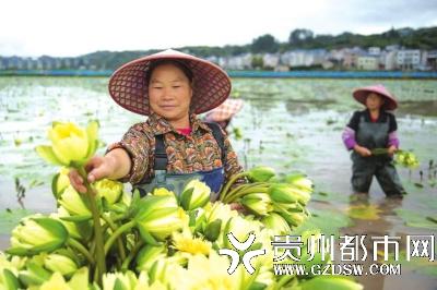 10月17日,余庆县乌杨大坝水生蔬菜基地,工人在采摘九品香莲。基地招收易地扶贫搬迁户前来工作,按一日一结的方式进行工资结算,有效增加了搬迁户的收入。 贺春雨 摄