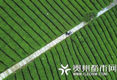 贵定县云雾镇老茶坡园,茶农在采摘茶叶。 蔡兴文 摄