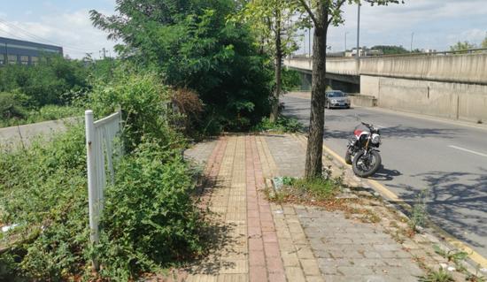 人行道被树枝遮挡严密 行人只好借道马路