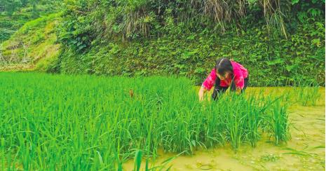 姜炜红正在田间插秧。