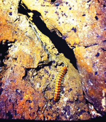 """洞内发现的""""蜈蚣""""。"""