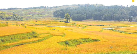 雅水稻田美得像画卷。