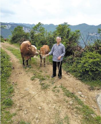 被盗耕牛找到了。 警方供图