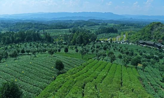 湄潭县湄江街道七彩部落的茶叶产业(徐其飞 摄)