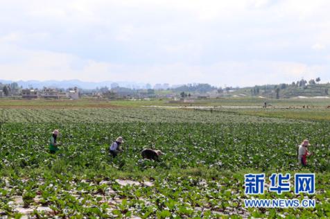 草海镇蔬菜基地(9月8日摄)。新华网发(杨盼 摄)