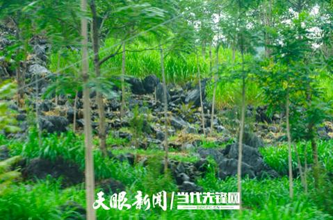 """贵州紫云:变""""输血""""为""""造血"""",以产业带动乡亲脱贫致富"""