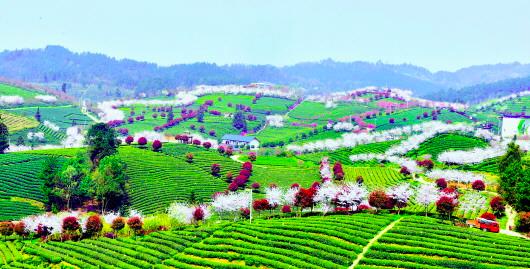 图为3月21日拍摄的余庆县松烟镇二龙茶山。通讯员 刘昌权 摄