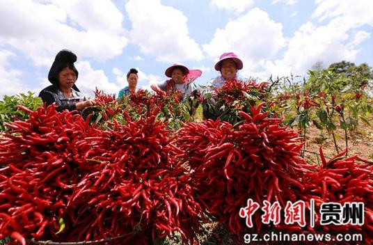 2021年9月6日,在贵州省黔东南苗族侗族自治州剑河县久仰镇毕下村辣椒种植基地,村民在采收辣椒。 杨家孟 摄