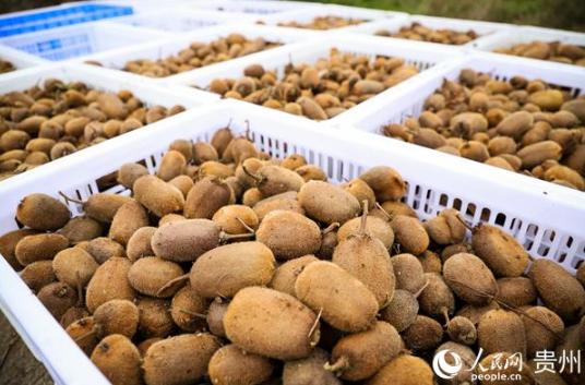 贵州七星关:猕猴桃喜获丰收