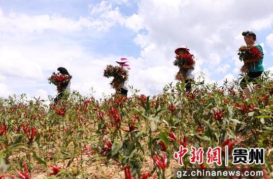 9月6日,在贵州省黔东南苗族侗族自治州剑河县久仰镇毕下村辣椒种植基地,村民在搬运刚采收的辣椒。 杨家孟 摄