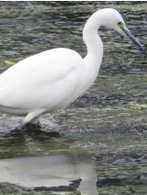 贵阳:南明河中 白鹭觅食