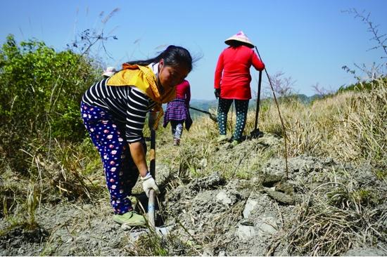 都拉乡小河村村民在平整土地发展经果林项目,准备利用荒地种植脆红李近500亩。