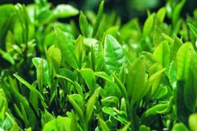 今年前11月 贵州茶叶出口销量大幅提升