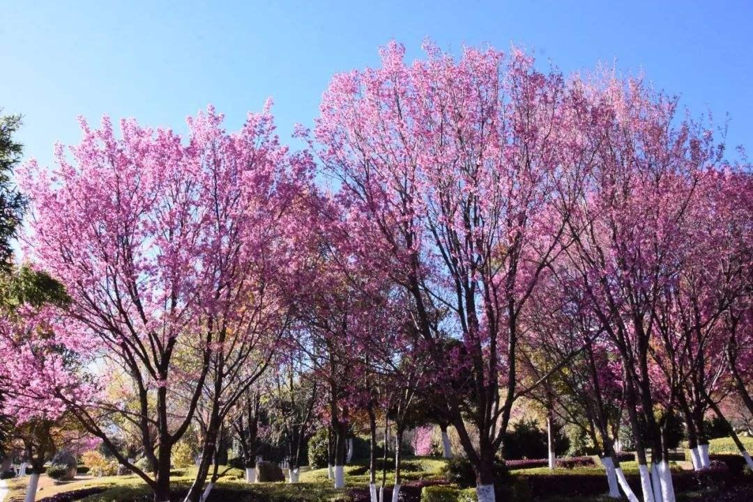 儋州:蓝洋樱花开 游人喜踏春