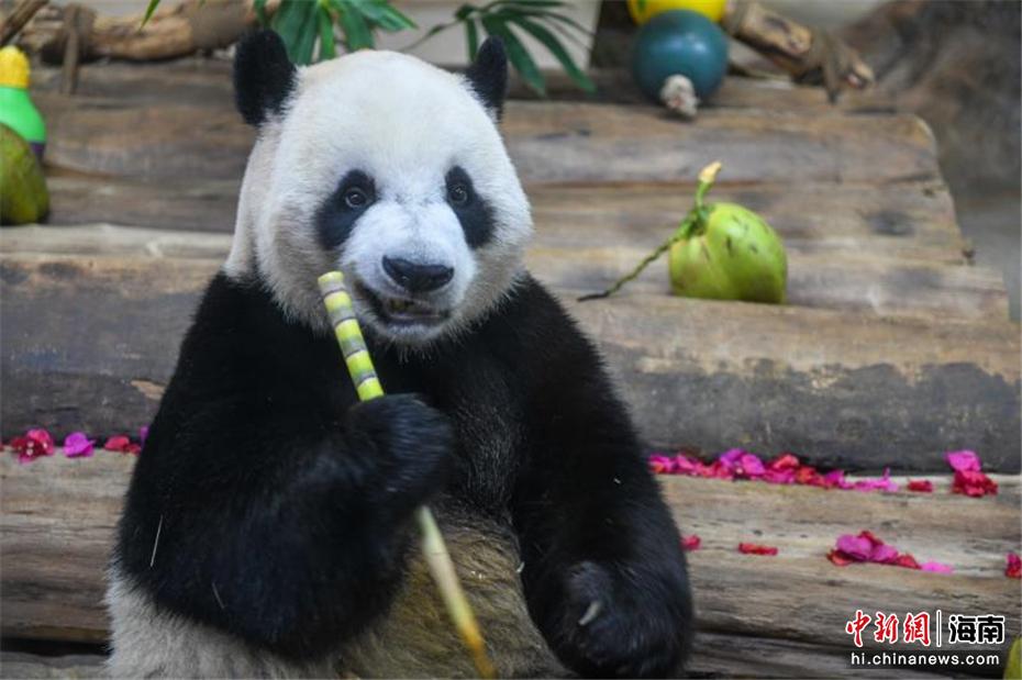 大熊猫兄弟贡贡、舜舜落户海南两周年