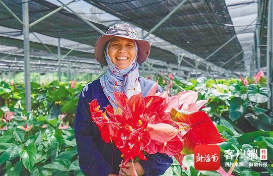 10月9日,三亚天涯区抱前村农户在该村红掌扶贫产业基地采收红掌。海南日报记者 武威 摄