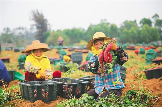 儋州市海头镇红坎村的村民在采收地瓜。通讯员 罗鑫 摄