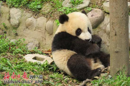 """↑熊猫弟弟""""舜舜""""。中国大熊猫保护研究中心雅安基地供图"""