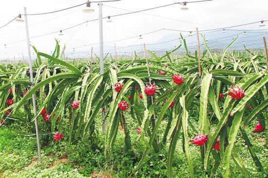乐东火龙果种植基地。 林东 摄